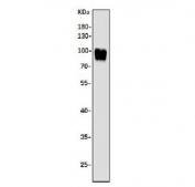 Western blot testing of human K562 cell lysate with Argonaute 3 antibody. Predicted molecular weight ~97 kDa.