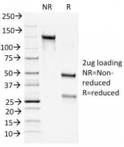 SDS-PAGE Analysis of Purified, BSA-Free Bcl2 Antibody cocktail (100/D5 + 124). Confirmation of Integrity and Purity of the Antibody.