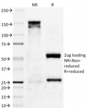 SDS-PAGE Analysis of Purified, BSA-Free Bcl-X Antibody (clone BX006). Confirmation of Integrity and Purity of the Antibody.