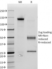 SDS-PAGE Analysis of Purified, BSA-Free CD34 Antibody (clone ICO-115). Confirmation of Integrity and Purity of the Antibody.