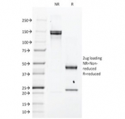 SDS-PAGE analysis of purified, BSA-free EGFR antibody (clone H9B4) as confirmation of integrity and purity.