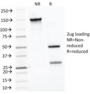 SDS-PAGE Analysis of Purified, BSA-Free HSP60 Antibody (clone LK1). Confirmation of Integrity and Purity of the Antibody.