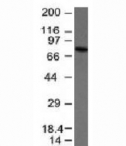 Western blot analysis of anti-IgM antibody and Raji cell lysate. Expected molecular weight: 70-75 kDa.
