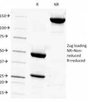 SDS-PAGE Analysis of Purified, BSA-Free CD14 Antibody (clone LPSR/927). Confirmation of Integrity and Purity of the Antibody.