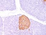 IHC: Formalin-paraffin human pancreas stained with Chromogranin A antibody (CHGA/798)