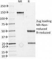 SDS-PAGE Analysis of Purified, BSA-Free recombinant Secretory Component Glycoprotein Antibody (clone rECM1/792). Confirmation of Integrity and Purity of the Antibody.