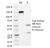 SDS-PAGE analysis of purified, BSA-free Arginase 1 antibody (clone ARG1/1125) as confirmation of integrity and purity.
