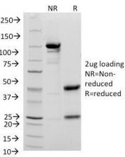 SDS-PAGE Analysis of Purified, BSA-Free CD48 Antibody (clone 156-4H9). Confirmation of Integrity and Purity of the Antibody.