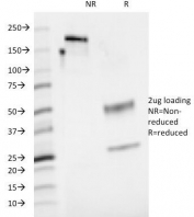 SDS-PAGE Analysis of Purified, BSA-Free CD48 Antibody (clone 5-4.8). Confirmation of Integrity and Purity of the Antibody.