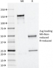 SDS-PAGE Analysis of Purified, BSA-Free Perilipin 2 Antibody (clone ADFP/1366). Confirmation of Integrity and Purity of the Antibody.