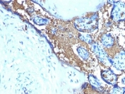 IHC testing of FFPE human placenta with Glycophorin A antibody (clone JC 159). Required HIER: boil tissue sections in pH 9 10mM Tris with 1mM EDTA for 10-20 min.