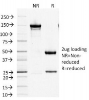 SDS-PAGE Analysis of Purified, BSA-Free Factor XIIIa Antibody (clone F13A1/1447). Confirmation of Integrity and Purity of the Antibody.