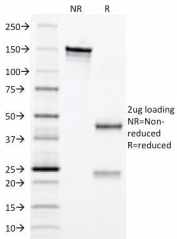 SDS-PAGE Analysis of Purified, BSA-Free Erythropoietin Antibody (clone EPO/1367). Confirmation of Integrity and Purity of the Antibody.