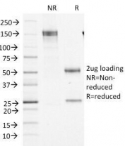 SDS-PAGE Analysis of Purified, BSA-Free Factor XIIIa Antibody (clone F13A1/1448). Confirmation of Integrity and Purity of the Antibody.