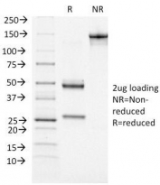 SDS-PAGE analysis of purified, BSA-free ATRX antibody (clone 39f) as confirmation of integrity and purity.