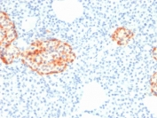 IHC staining of FFPE human pancreas with recombinant Chromogranin A antibody (clone rCHGA/798). HIER: boil tissue sections in pH6, 10mM citrate buffer, for 10-20 min followed by cooling at RT for 20 min.