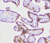 IHC testing of FFPE human placenta with recombinant PLAP antibody (clone KSUP-2R).