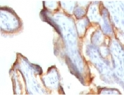 IHC testing of FFPE human placenta stained with hCG alpha antibody (CGA91-2).