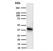 Western blot testing of human A549 cell lysate with Annexin A1 antibody. Expected molecular weight ~38 kDa.