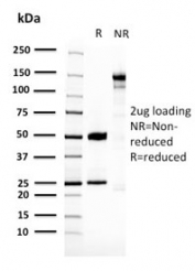 SDS-PAGE analysis of purified, BSA-free 14-3-3 epsilon antibody (clone ACP5/2336R) as confirmation of integrity and purity.