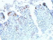 IHC staining of FFPE human small intestine with recombinant DC-SIGN antibody (clone C209/2749R). HIER: boil tissue sections in 10mM Tris with 1mM EDTA, pH 9, for 10-20 min followed by cooling at RT for 20 min.