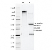 SDS-PAGE analysis of purified, BSA-free Annexin A1 antibody (clone 5E4/1) as confirmation of integrity and purity.