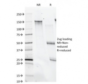 SDS-PAGE analysis of purified, BSA-free CD28 antibody (clone C28/74) as confirmation of integrity and purity.