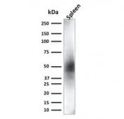 Western blot testing of human spleen lysate with CD63 antibody (clone LAMP3/2881). Predicted molecular weight: 25-60 kDa depending on glycosylation level.