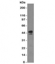 Western blot of human spleen lysate with anti-CD63 antibody (SPM524)