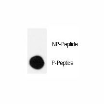 Dot blot analysis of phospho-CRK antibody. 50ng of phos-peptide or nonphos-peptide per dot were spotted. P-Peptide=phos-peptide; NP-Peptide=nonphos-peptide.