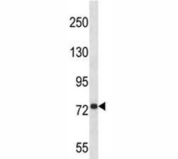 Anti-APP antibody western blot analysis in 293 lysate. Predicted molecular weight ~79kDa.
