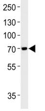 Anti-TAU antibody western blot analysis in SH-SY5Y lysate. Expected molecular weight: 50-80 kDa.