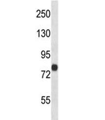 FACL4 antibody western blot analysis in human 293 lysate. Predicted molecular weight ~80 kDa.