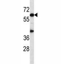 Akt1 antibody western blot analysis in mouse heart tissue lysate.