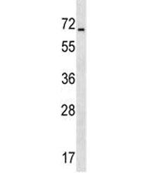 ASIC4 antibody western blot analysis in human HepG2 lysate. Predicted molecular weight ~70 kDa.
