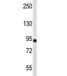 Western blot testing of human 293 cell lysate with Aconitase 2 antibody at 1:1000. Predicted molecular weight ~85 kDa.