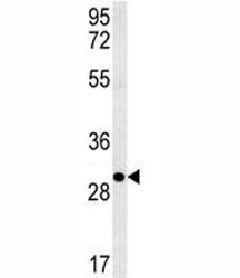 Anti-EpCAM antibody western blot analysis in 293 lysate. Expected molecular weight: ~35 kDa (unmodified), 40-43 kDa (glycosylated).