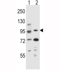 AHR antibody western blot analysis in (1) mouse NIH3T3 and (2) human T47D cell line lysate. Predicted molecular weight ~ 95kDa.