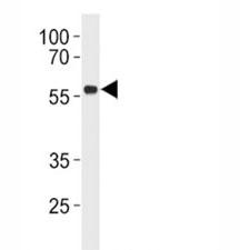 p53 antibody western blot analysis in Daudi lysate.