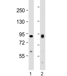 Western blot testing of human 1) HeLa and 2) Jurkat cell lysate with ACO2 antibody at 1:1000. Predicted molecular weight ~85 kDa.
