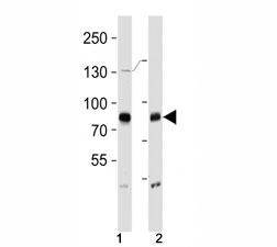 BRAF antibody western blot analysis in (1) HeLa and (2) T47D lysate. Predicted size 85-95 kDa