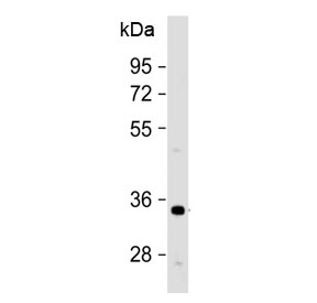 Western blot testing of human HeLa cell lysate with OR1B1 antibody at 1:500. Predicted molecular weight ~35 kDa.
