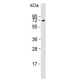 Western blot testing of human Jurkat lysate with ATG16L1 antibody. Predicted molecular weight ~68 kDa.