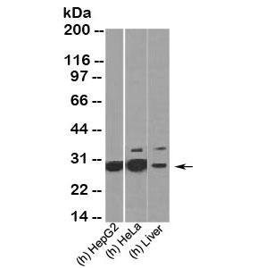 HMGB1 antibody western blot of human samples. Predicted molecular weight ~25 kDa.