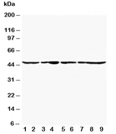 Western blot testing of Actin antibody and Lane 1:  rat cardiac muscle; 2: rat brain;  3: rat testis;  4: rat skeletal muscle;  5: MM231 lysate; 6: HeLa lysate;  7: SMMC-7721 lysate;  8: HT1080 lysate;  9: SW620 lysate