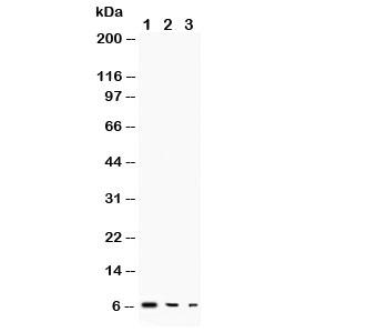 Western blot testing of TGF alpha antibody and Lane 1:  recombinant human protein 10ng;  2: 5ng;  3: 2.5ng