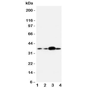 Western blot testing of APEX1 antibody and human samples 1:  U87;  2: A549;  3: SMMC-7721;  4: HeLa cell lysate.  Expected/observed molecular weight: ~38kDa.