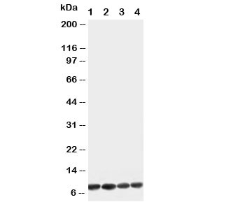 Western blot testing of Apelin antibody and Lane 1:  U87;  2: MCF-7;  3: HeLa;  4: MM453 cell lysate