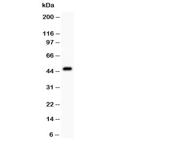 Western blot testing of Aurora A antibody at and mouse ovary lysate.  Expected molecular weight: ~46kDa.