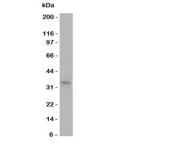 Western blot testing of Aquaporin 10 antibody and COLO320 cell lysate
